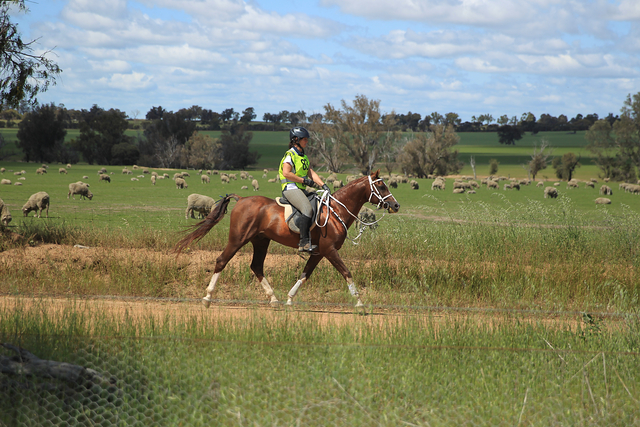 Elite endurance riders use increasing amounts of sitting canter throughout race stages