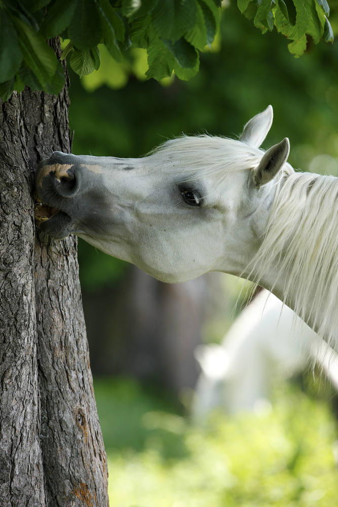 Is It Normal For My Horse To Eat Bark Horsescience Co Latest Equine Studies