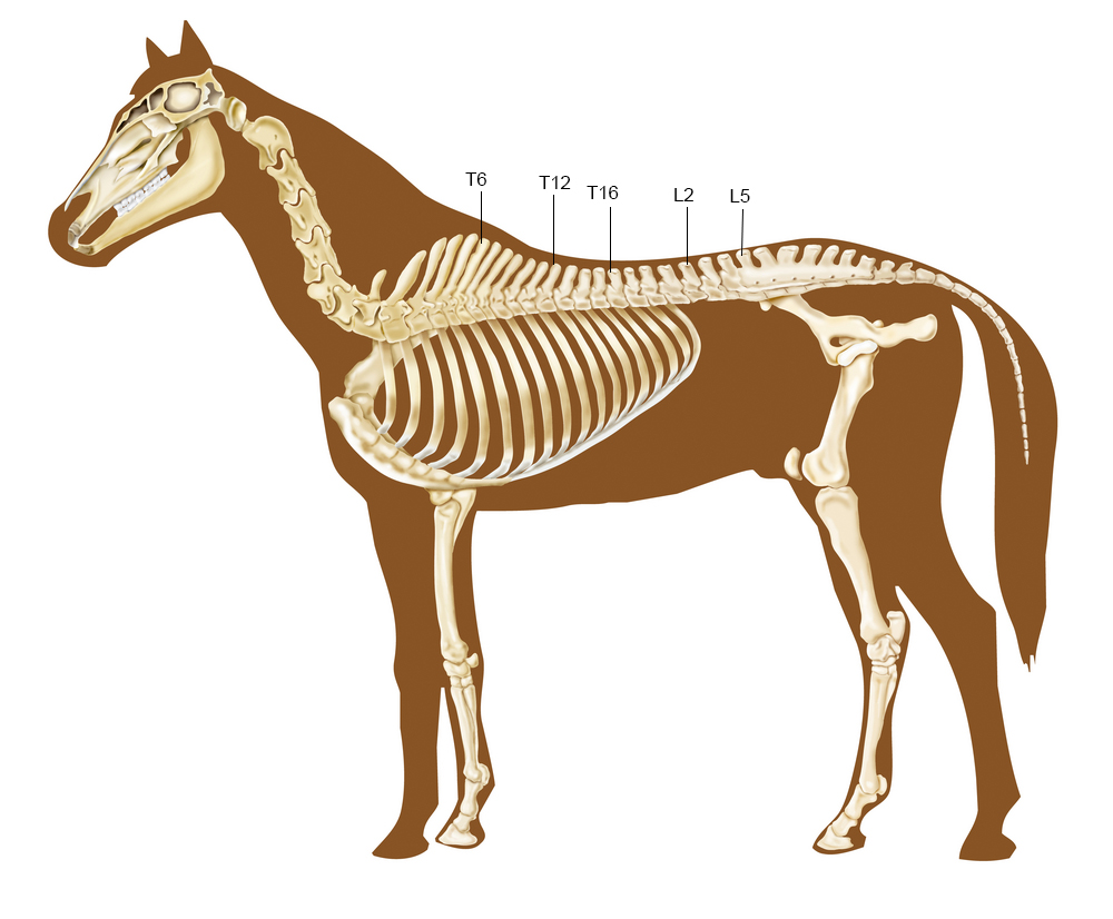Kinematics of the horse's back during rising trot